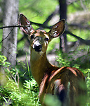 Deer seen in the Esopus Bends Nature Preserve on Wednesday, May 31, 2017. Photo by Jim Peppler. Copyright/Jim Peppler-2017.