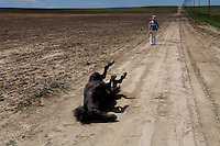 Angel rolls in the dirt on a walk to the fields to run free.  An orphaned foal, she was rescued and bottle-fed by Karen Sussman, president of the International Society for the Protection of Mustangss and Burros.<br />