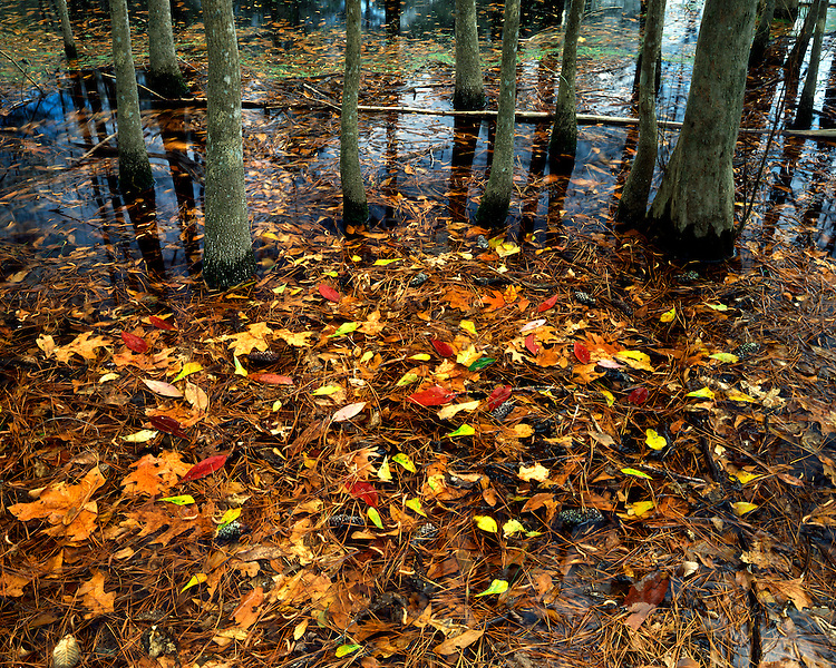 Tupelo Gum trees in a swamp; Martin Dies, Jr. State Park, TX