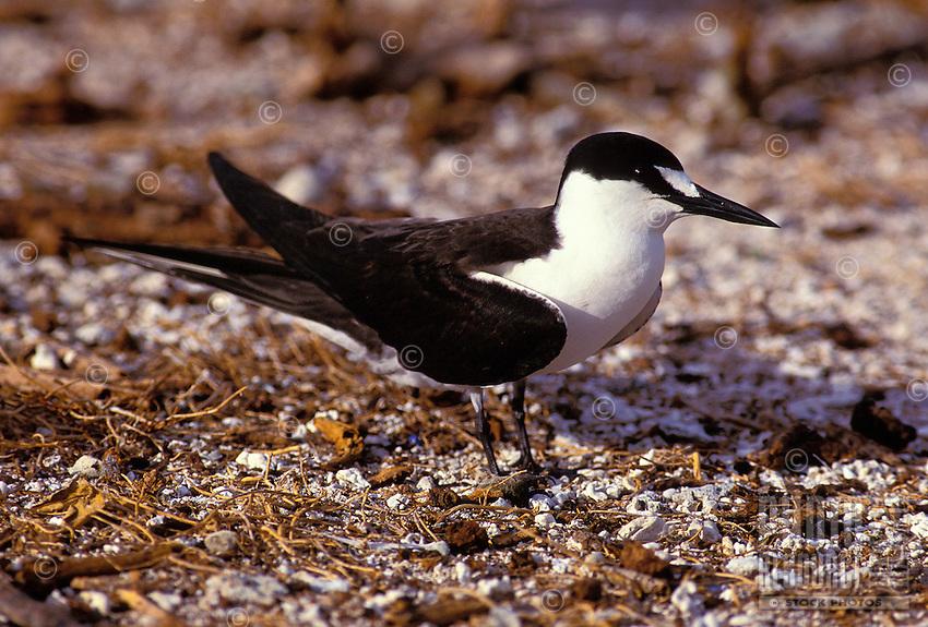 The sooty tern or ewa ewa, (sterna oahuensis). Nests in great numbers on Moku Manu and Manana islands off Oahu.