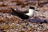 The sooty tern or ewa ewa, (sterna oahuensis). Nests in great numbers on Moku Manu and Manana islands off Oahu.