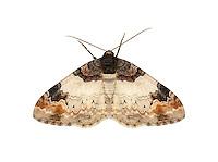 70.056 (1736)<br /> Royal Mantle - Catarhoe cuculata