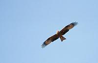 Schwarzmilan, im Flug, Flugbild, fliegend, Schwarz-Milan, Milan, Milvus migrans, black kite