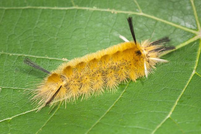 A Banded Tussock Moth (Halysidota tessellaris) caterpillar (larva) on a leaf.
