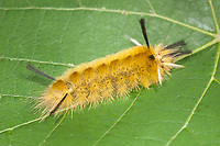 A Banded Tussock Moth (Halysidota tessellaris) caterpillar (larva) on a leaf.