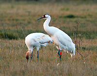 Whooping crane adult and juvenile
