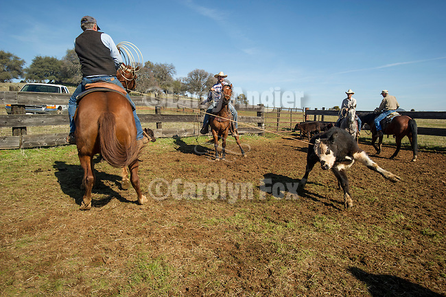 Calf marking and branding the Doug & Loree Joses at the Plasse Ranch near Jackson, Calif.