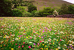 Hay Meadow in flower, Muker, Swaledale, Yorkshire