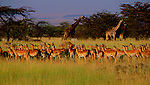 Impalas, zebras, and giraffes graze together on the savannah in the Loldaika Mountains, Kenya.