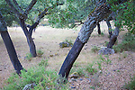Tree trunks showing harvested bark Quercus suber, Cork oak, Sierra de Grazalema natural park, Cadiz province, Spain