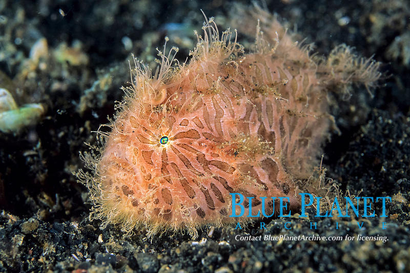 striated anglerfish, frogfish, Antennarius striatus, Lembeh Strait, North Sulawesi, Indonesia, Pacific Ocean