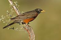 American Robin- Turdus migratorius - Adult male