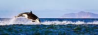 orca or killer whale, Orcinus orca, hunting long-beaked common dolphin, Delphinus capensis, False Bay, South Africa