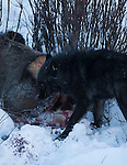 Gray Wolf (canis Lupus) In Yellowstone National Park, Montana, USA, Jan 4th, 2009.  Photo by Gus Curtis.