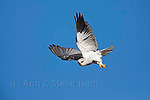 Black-shouldered kite, Elanus caeruleus, hovering, Intaka Island, Century City, Cape Town, South Africa