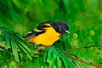 561920070 a wild breeding plumaged male baltimore oriole icterus galbula perches on a small tree limb on south padre island cameron county texas
