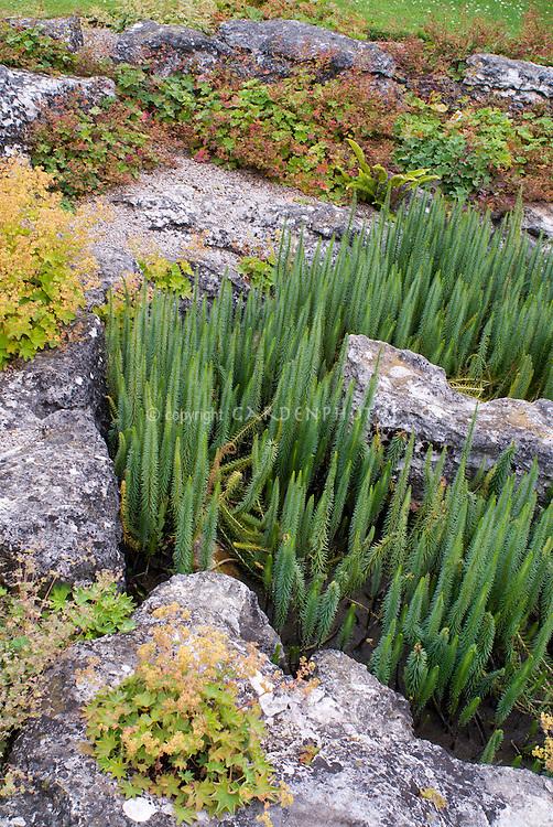 Alchemilla venosa at Cambridge Botanic Garden