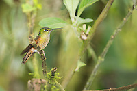 Female fawn-breasted brilliant hummingbird, Heliodoxa rubinoides, perched on a branch at Refugio Paz de las Aves, Ecuador