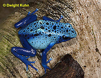 FR24-505z       Blue Poison Arrow Frog, Dendrobates azureus, Central America
