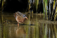 575100012 a wild adult virginia rail railus limicola forages in a shallow pond near the pacific ocean in ventura county california united states