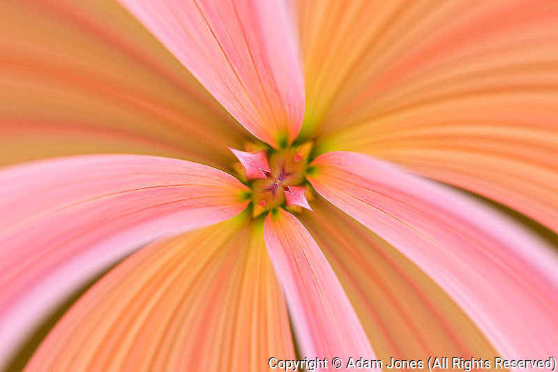 Flipped and mirrored Close-up of Dahlia flower, Dahlia spp. Rockport, Maine