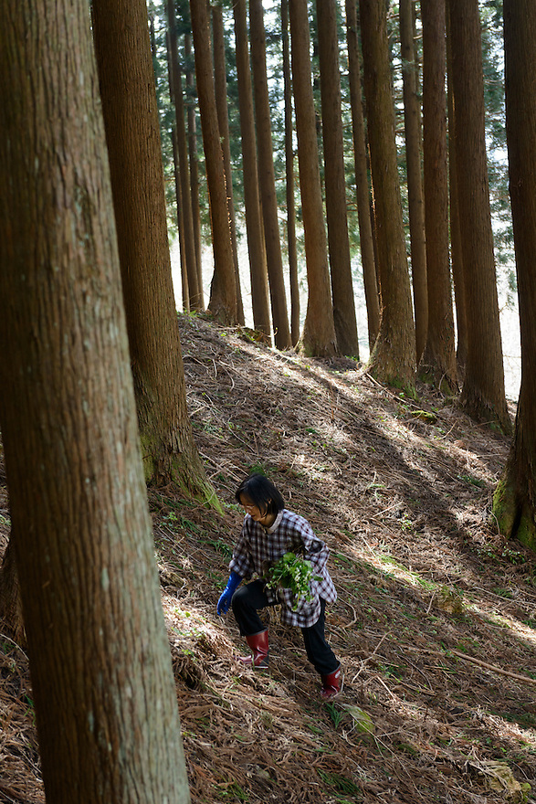 Mountain vegetable farmer Chie Sato walking through a wood looking for mountain vegetables near her home. Tsuruoka, Yamagata Prefecture, Japan, April 9, 2016. The city of Tsuruoka in Yamagata Prefecture is famous for its sansai mountain vegetable cuisine. These foraged grasses, fungi and vegetables are also used by the mountain ascetics of the Shugendo religion.