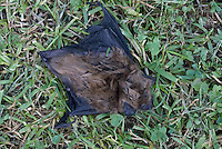 MA20-848z  Big Brown Bat on the ground dead, Eptesicus fuscus