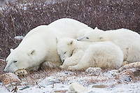 01874-13619 Polar Bears (Ursus maritimus) female with 2 cubs sleeping, Churchill, MB Canada