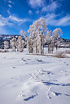 Yellowstone National Park, Wyoming/Montana: Snow patterns and frosted cottonwood trees in the Lamar Valley in winter