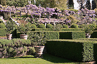 The lemon garden at La Foce with the wisteria in full bloom