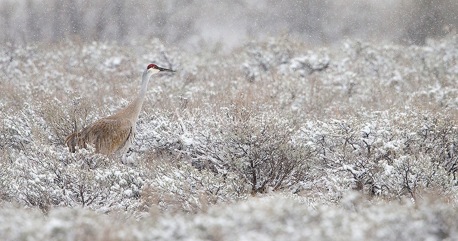 A Sandhill cranes forages during a snowstorm in the Lamar Valley.