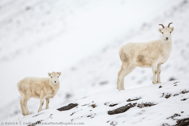 Dall sheep ewe and lamb on the snowy ridge of the Brooks Range mountains, Arctic Alaska.