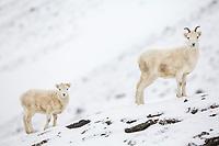 Dall sheep ewe and lamb on the snowy ridge of the Brooks Range mountains, Arctic Alaska.
