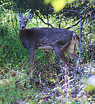 Deer seen on a hike in the Esopus Bend Nature Preserve, in Saugerties, NY, on Sunday, September 24, 2017. Photo by Jim Peppler. Copyright/Jim Peppler-2017.