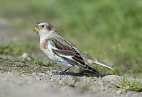 Snow Bunting - Plectrophenax nivalis - 1st winter. L 16-17cm. Confiding, plump-bodied bunting. All birds have extensive white on inner wing, rump and tail. Sexes are dissimilar. Adult male in summer has mainly white plumage with blackish back, black on wings, and black bill and legs. Adult female in summer is similar but back is brownish and has brown and buff streaking on head, neck and sides of breast. Winter birds have mainly white underparts and buffish orange upperparts. Adult males are whitest on wings, face and underparts. Bill is yellowish and legs are black. Voice Has tinkling flight call. Song is twittering. Status Small numbers breed in Scottish mountains but best known as winter visitor, commonest on E coast; saltmarshes, coastal grassland and beach strandlines are favoured.