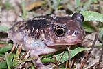 Eastern Spadefoot Toad (Scaphiopus holbrookii), Eastern North America