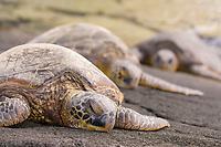 Hawaiian green sea turtle, Chelonia mydas, Big Island, Hawaii