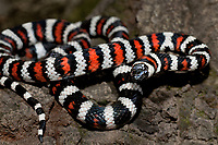 43935009 a captive wildlife rescue california mountain king snake lampropeltis zonata parvirubra coiled on a tree trunk in the san gabriel mountains of southern california united states