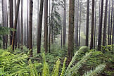 CANADA, Vancouver, British Columbia, rainforest in the fog, North Vancouver