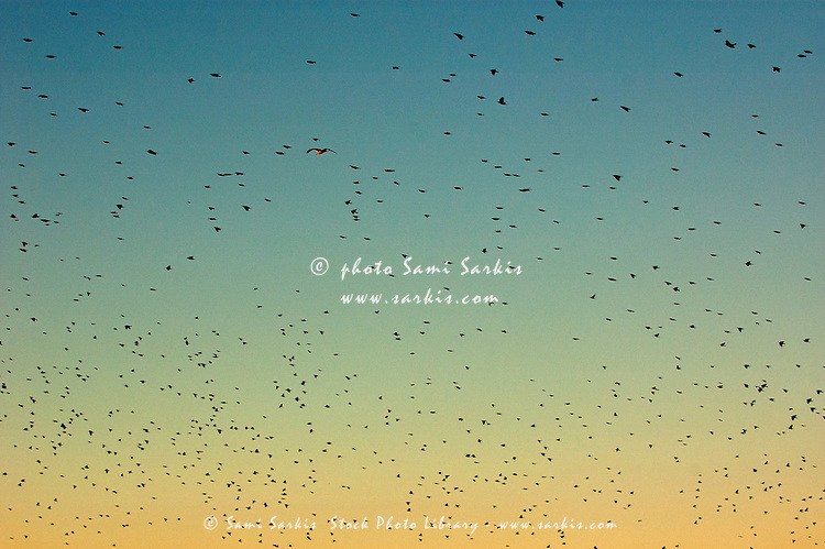 Flock of swallows flying together at sunset.