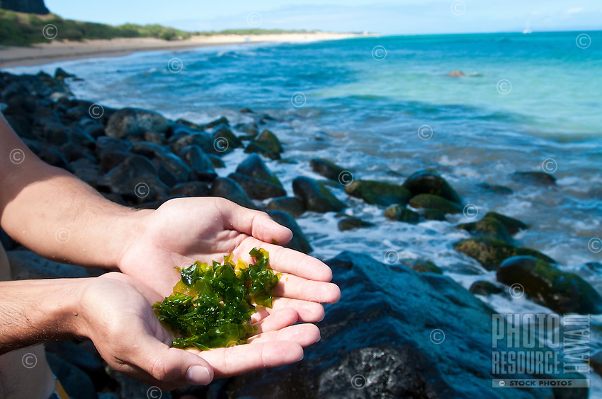 A man holds limu pahapaha (or lipahapaha, sea lettuce, seaweed, algae) in his hands for examination at Polihale Beach on Kaua'i.
