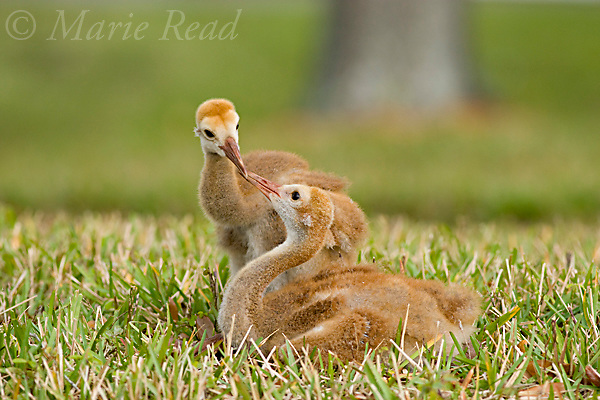 Greater Sandhill Cranes (Grus canadensis) (Florida race), two chicks interacting, Kissimmee, Florida, USA