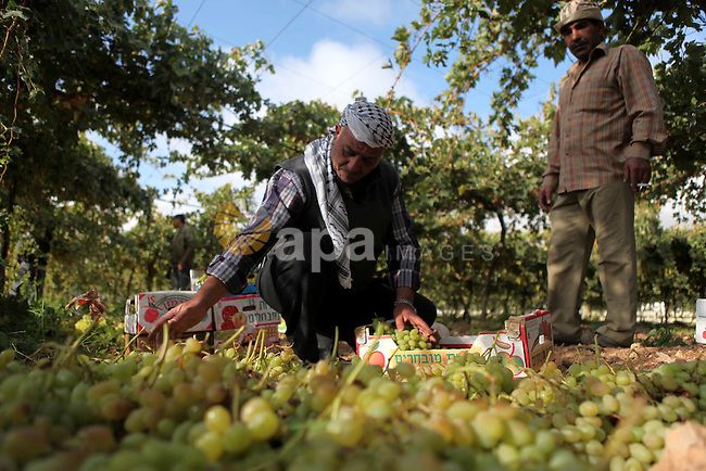A Palestinian farmer sorts out grapes in the field near the West Bank city of Hebron, Sept. 29, 2014. Hebron is famous for its quality grape production and its lush vineyards. Photo by Mamoun Wazwaz
