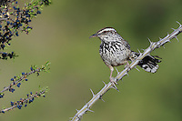 Cactus Wren (Campylorhynchus brunneicapillus), adult, Chisos Basin, Chisos Mountains, Big Bend National Park, Chihuahuan Desert, West Texas, USA