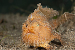 Hairy frogfish (Antennarius striatus) hunting