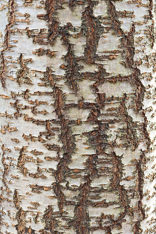 Close-up of bark on the trunk of ornamental cherry tree (Prunus 'Pink Champagne').