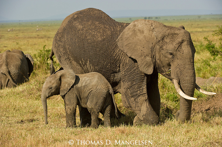 An elephant walks with her young in Masai Mara, Kenya.