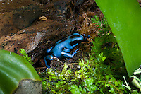 The Blue and Black Poison Dart Frog (Dendrobates auratus) is a color morph of the Green and Black Poison Dart Frog, captive