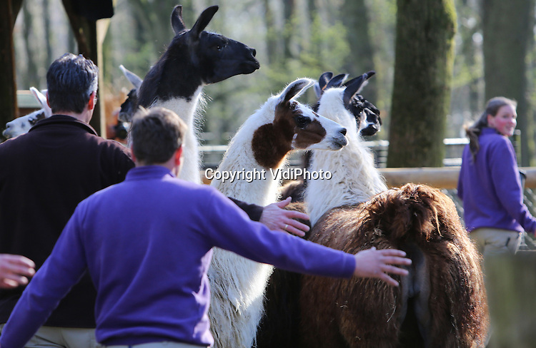 Foto: VidiPhoto<br /> <br /> RHENEN - De zeven lama's van Ouwehands Dierenpark in Rhenen hebben donderdag een nieuw verblijf gekregen. De verhuizing is onderdeel van het plan om meer diersoorten bij elkaar te zetten en nieuwe dieren aan te trekken. Doel is verrijking en meer interactie tussen de diersoorten onderling. De lamagroep beet donderdag de spits af. Ze mochten zelf, via een sluis van bouwhekken, naar het nieuwe perk lopen.