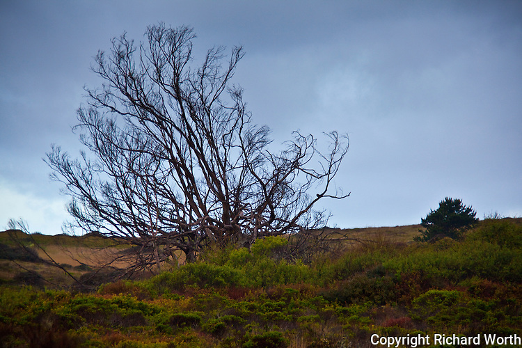 A tree, sans leaves, along a trail in Ano Nuevo State Reserve, California.